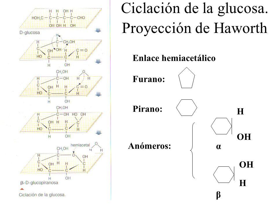 Ciclación de la glucosa. Proyección de Haworth Enlace hemiacetálico Furano: Pirano: Anómeros: α β OH H H