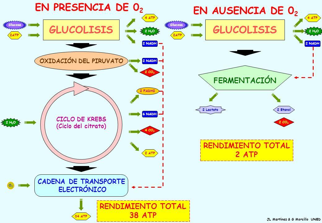 RENDIMIENTO TOTAL 38 ATP GLUCOLISIS FERMENTACIÓN 4 ATP 2 NADH 2 H 2 O 2 CO 2 2 Etanol 2 Lactato 2ATP RENDIMIENTO TOTAL 2 ATP GLUCOLISIS 4 ATP 2ATP 2 N