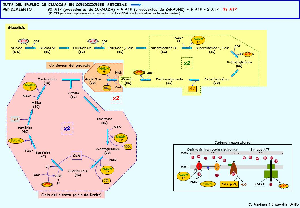 JL Martinez & G Morcillo UNED MMI MME Ciclo del citrato (ciclo de Krebs) Glucosa (6 C) Glucosa 6P (6C) Fructosa 6P (6C) Fructosa 1,6 diP (6C) Gliceral