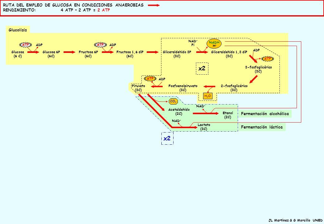 JL Martinez & G Morcillo UNED Ciclo del citrato (ciclo de Krebs) Glucosa (6 C) Glucosa 6P (6C) Fructosa 6P (6C) Fructosa 1,6 diP (6C) Gliceraldehido 3P (3C) Gliceraldehido 1,3 diP (3C) 3-fosfoglicérico (3C) 2-fosfoglicérico (3C) Fosfoenolpiruvato (3C) Piruvato (3C) Acetil CoA (2C) Oxalacetato (4C) Citrato (6C) α-cetoglutarico (5C) Succinil co A (4C) Succínico (4C) Fumárico (4C) Málico (4C) Isocitrato (6C) ATP CO 2 ATP GTP CO 2 H2OH2O ADP GDP + Pi ATP ADP NAD + FAD + NAD + Pi NADH H+H+ NAD + H2OH2O CoA x2 FADH 2 x2 CoA NADH H+H+ H+H+ H+H+ H+H+ Acetaldehido (2C) Lactato (3C) Etanol (2C) NAD + CO 2 NAD + NADH H+H+ FADH 2 NAD + e-e- H+H+ H+H+ H+H+ H+H+ H+H+ H+H+ H+H+ H+H+ H+H+ 2H + ½ O 2 H2OH2O H+H+ H+H+ H+H+ H+H+ H+H+ H+H+ ADP+Pi H+H+ ATP Cadena de transporte electrónicoSíntesis ATP MMI MME Cadena respiratoria Glucolisis Oxidación del piruvato x2 Fermentación alcohólica Fermentación láctica RUTAS IMPLICADAS EN LA OBTENCIÓN DE ENERGÍA A PARTIR DE GLUCOSA