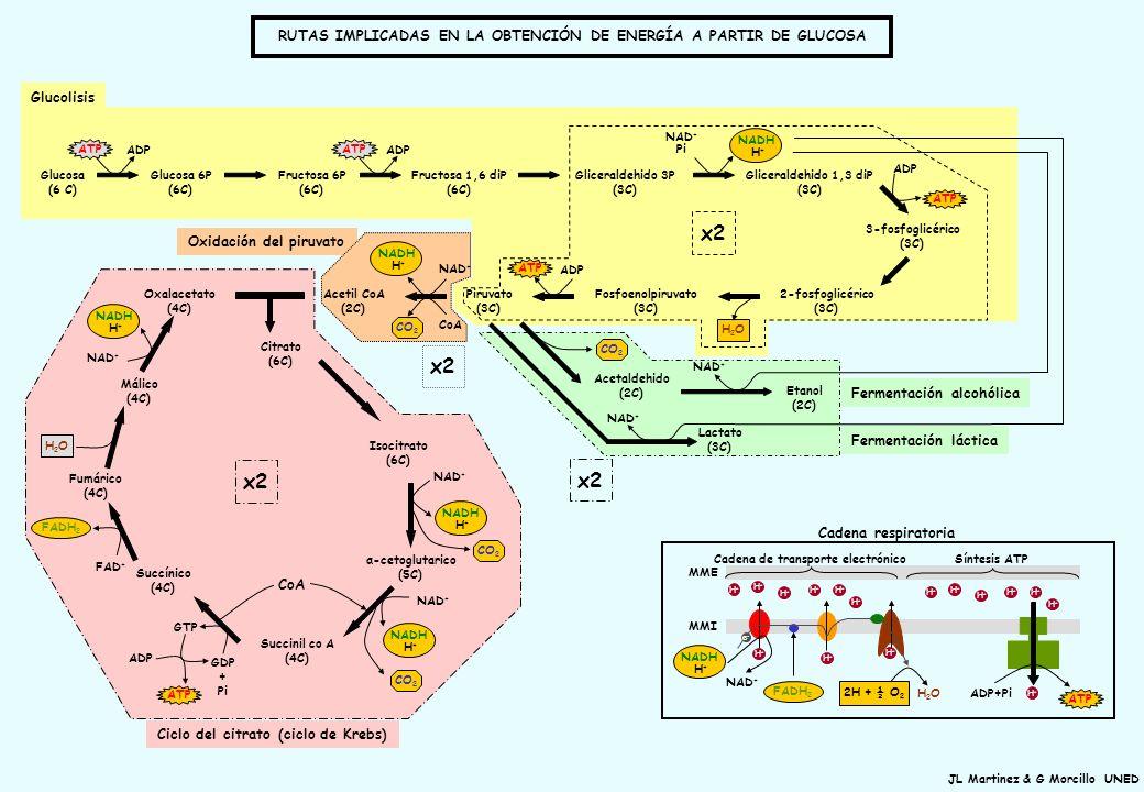 JL Martinez & G Morcillo UNED Ciclo del citrato (ciclo de Krebs) Glucosa (6 C) Glucosa 6P (6C) Fructosa 6P (6C) Fructosa 1,6 diP (6C) Gliceraldehido 3