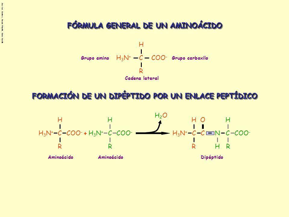 Jose Luis Martinez, Rosario Planelló, Gloria Morcillo β-glucosa C C C C C O CH 2 OH HH H H OH H HO OH C C C C C O CH 2 OH HOH H H H H HO OH + HO C C C C C O CH 2 OH HH H H OH H C C C C C O CH 2 OH HOH H H H H O H2OH2O α-glucosaMaltosa C C C C C O CH 2 OH HOH H H H H HO OH + C C C C C O CH 2 OH H H H H OH H HO OH C C C C C O CH 2 OH HOH H H H H O H2OH2O C C C C C O CH 2 OH HOH H H H H HO OH β-glucosa Celobiosa C C C C C O CH 2 OH HH H H OH H HO OH α-glucosa C C C C C O CH 2 OH HOH H H H H HO OH ESTEROISOMEROS DE LA GLUCOSA β-glucosa DISACÁRIDOS Enlace α-1,4 glucosídico Enlace β-1,4 glucosídico
