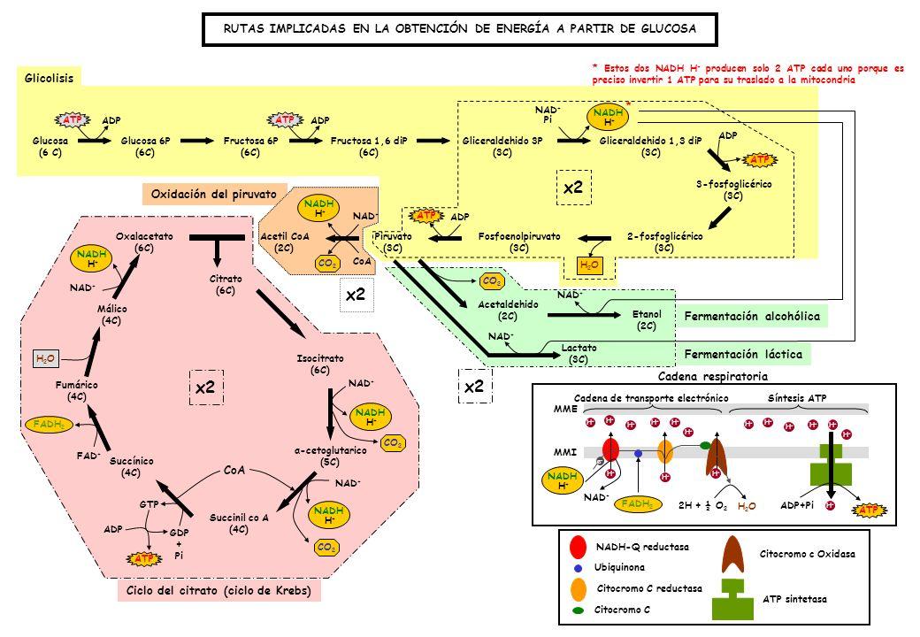 Ciclo del citrato (ciclo de Krebs) * Estos dos NADH H + producen solo 2 ATP cada uno porque es preciso invertir 1 ATP para su traslado a la mitocondria Glucosa (6 C) Glucosa 6P (6C) Fructosa 6P (6C) Fructosa 1,6 diP (6C) Gliceraldehido 3P (3C) Gliceraldehido 1,3 diP (3C) 3-fosfoglicérico (3C) 2-fosfoglicérico (3C) Fosfoenolpiruvato (3C) Piruvato (3C) Acetil CoA (2C) Oxalacetato (6C) Citrato (6C) α-cetoglutarico (5C) Succinil co A (4C) Succínico (4C) Fumárico (4C) Málico (4C) Isocitrato (6C) ATP CO 2 ATP GTP CO 2 H2OH2O ADP GDP + Pi ATP ADP NAD + FAD + NAD + Pi NADH H+H+ NAD + H2OH2O CoA x2 FADH 2 x2 CoA NADH H+H+ H+H+ H+H+ H+H+ Acetaldehido (2C) Lactato (3C) Etanol (2C) NAD + CO 2 NAD + * NADH-Q reductasa Ubiquinona Citocromo C reductasa Citocromo C Citocromo c Oxidasa ATP sintetasa NADH H+H+ FADH 2 NAD + e-e- H+H+ H+H+ H+H+ H+H+ H+H+ H+H+ H+H+ H+H+ H+H+ 2H + ½ O 2 H2OH2O H+H+ H+H+ H+H+ H+H+ H+H+ H+H+ ADP+Pi H+H+ ATP Cadena de transporte electrónicoSíntesis ATP MMI MME Cadena respiratoria Glicolisis Oxidación del piruvato x2 Fermentación alcohólica Fermentación láctica RUTAS IMPLICADAS EN LA OBTENCIÓN DE ENERGÍA A PARTIR DE GLUCOSA