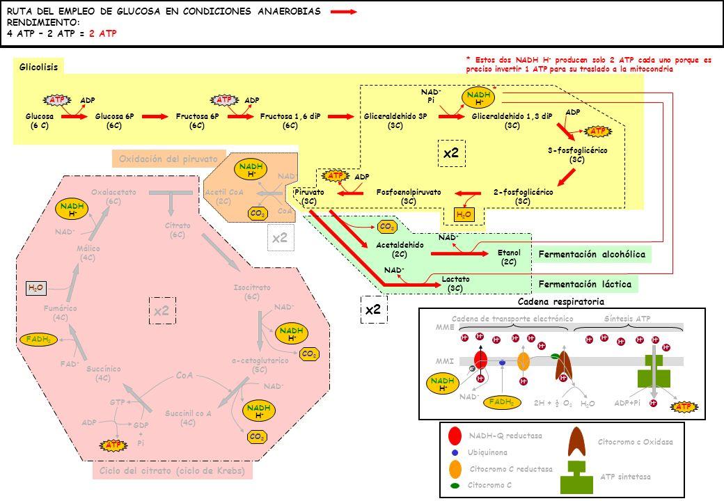 Ciclo del citrato (ciclo de Krebs) * Estos dos NADH H + producen solo 2 ATP cada uno porque es preciso invertir 1 ATP para su traslado a la mitocondria Glucosa (6 C) Glucosa 6P (6C) Fructosa 6P (6C) Fructosa 1,6 diP (6C) Gliceraldehido 3P (3C) Gliceraldehido 1,3 diP (3C) 3-fosfoglicérico (3C) 2-fosfoglicérico (3C) Fosfoenolpiruvato (3C) Piruvato (3C) Acetil CoA (2C) Oxalacetato (6C) Citrato (6C) α-cetoglutarico (5C) Succinil co A (4C) Succínico (4C) Fumárico (4C) Málico (4C) Isocitrato (6C) ATP CO 2 ATP GTP CO 2 H2OH2O ADP GDP + Pi ATP ADP NAD + FAD + NAD + Pi NADH H+H+ NAD + H2OH2O CoA x2 FADH 2 x2 CoA NADH H+H+ H+H+ H+H+ H+H+ Acetaldehido (2C) Lactato (3C) Etanol (2C) NAD + CO 2 NAD + * NADH-Q reductasa Ubiquinona Citocromo C reductasa Citocromo C Citocromo c Oxidasa ATP sintetasa NADH H+H+ FADH 2 NAD + e-e- H+H+ H+H+ H+H+ H+H+ H+H+ H+H+ H+H+ H+H+ H+H+ 2H + ½ O 2 H2OH2O H+H+ H+H+ H+H+ H+H+ H+H+ H+H+ ADP+Pi H+H+ ATP Cadena de transporte electrónicoSíntesis ATP MMI MME Cadena respiratoria Glicolisis Oxidación del piruvato x2 Fermentación alcohólica Fermentación láctica RUTA DEL EMPLEO DE GLUCOSA EN CONDICIONES ANAEROBIAS RENDIMIENTO: 4 ATP – 2 ATP = 2 ATP