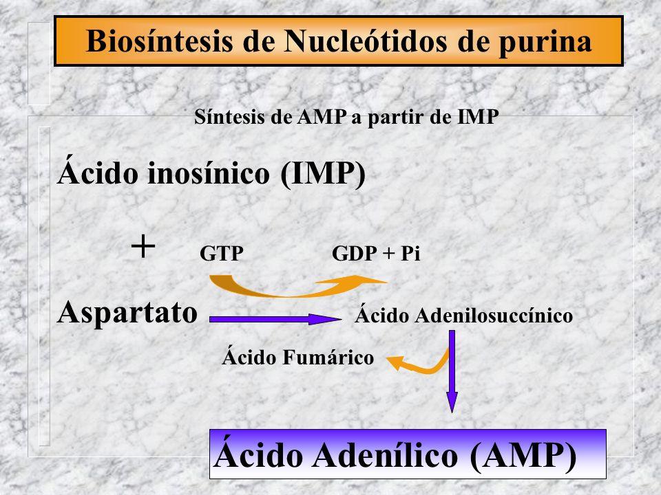 Biosíntesis de Nucleótidos de purina Ácido inosínico (IMP) + GTP GDP + Pi Aspartato Ácido Adenilosuccínico Ácido Fumárico Ácido Adenílico (AMP) Síntes