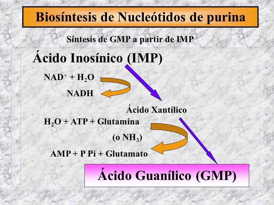 Biosíntesis de Nucleótidos de purina Síntesis de GMP a partir de IMP Ácido Inosínico (IMP) NAD + + H 2 O NADH Ácido Xantílico H 2 O + ATP + Glutamina