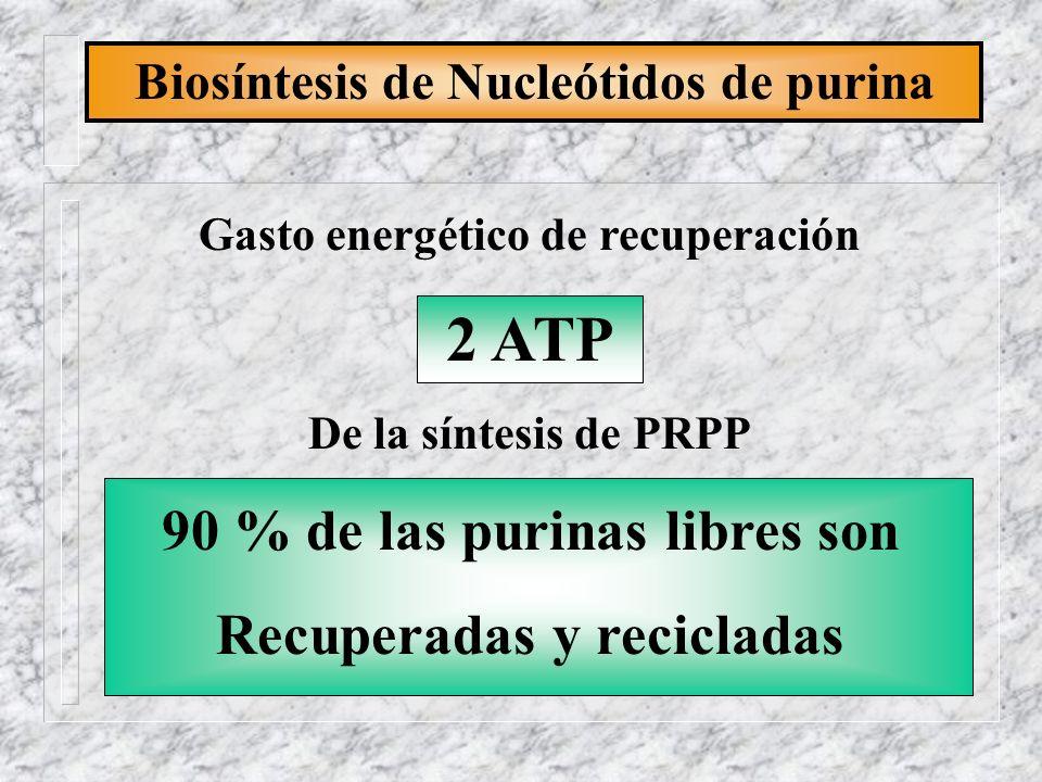 Biosíntesis de Nucleótidos de purina Gasto energético de recuperación 2 ATP De la síntesis de PRPP 90 % de las purinas libres son Recuperadas y recicl