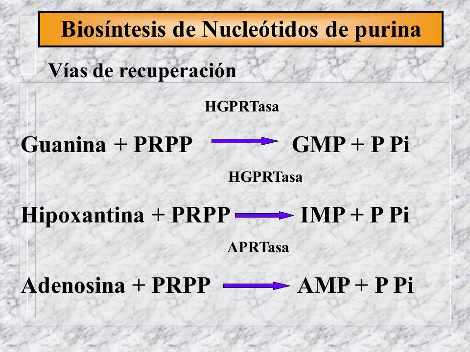 Biosíntesis de Nucleótidos de purina Vías de recuperación HGPRTasa Guanina + PRPP GMP + P Pi HGPRTasa Hipoxantina + PRPP IMP + P Pi APRTasa Adenosina
