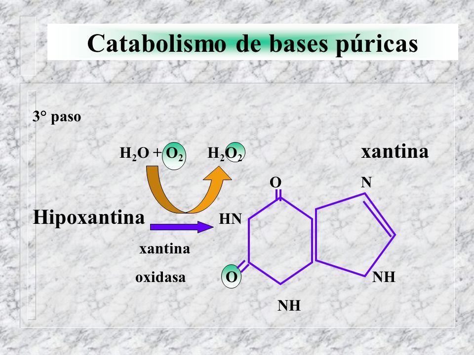 Catabolismo de bases púricas 3° paso H 2 O + O 2 H 2 O 2 xantina O N Hipoxantina HN xantina oxidasa O NH NH