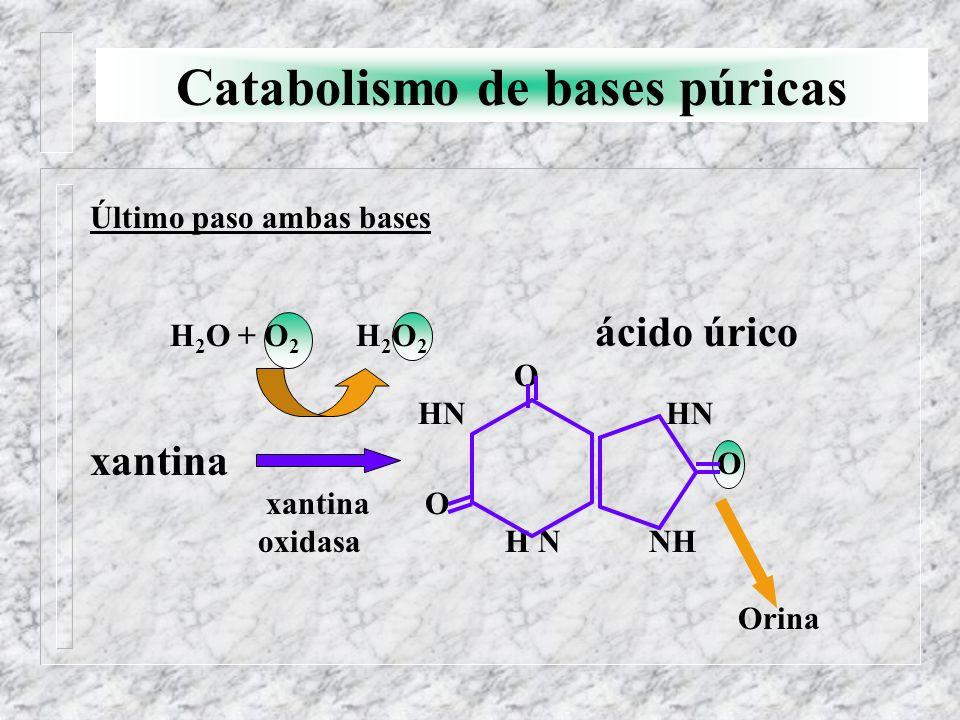 Catabolismo de bases púricas Último paso ambas bases xantina H 2 O + O 2 H 2 O 2 ácido úrico O HN HN O xantina O oxidasa H N NH Orina