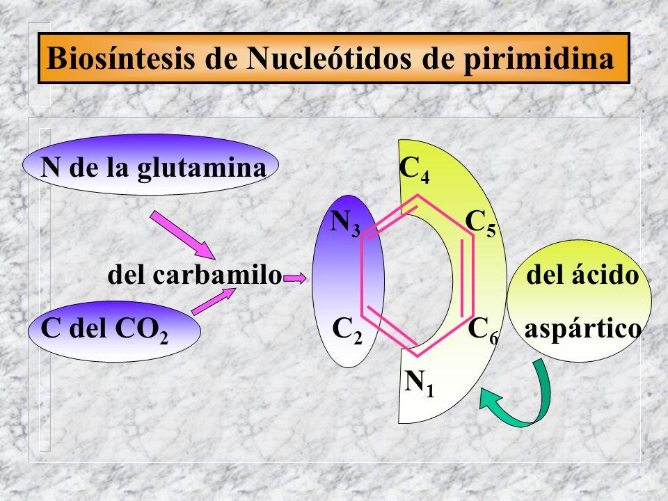 Biosíntesis de Nucleótidos de pirimidina N de la glutamina C 4 N 3 C 5 del carbamilo del ácido C del CO 2 C 2 C 6 aspártico N 1