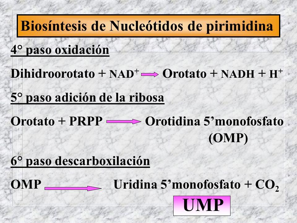 Biosíntesis de Nucleótidos de pirimidina 4° paso oxidación Dihidroorotato + NAD + Orotato + NADH + H + 5° paso adición de la ribosa Orotato + PRPP Oro