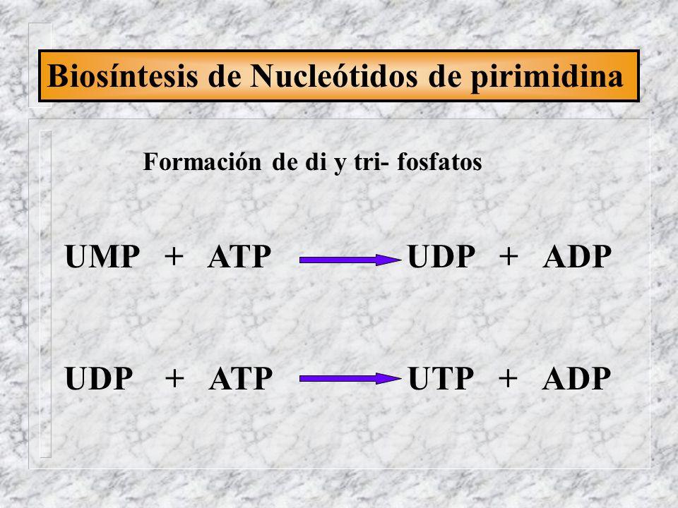 Biosíntesis de Nucleótidos de pirimidina UMP + ATP UDP + ADP UDP + ATP UTP + ADP Formación de di y tri- fosfatos