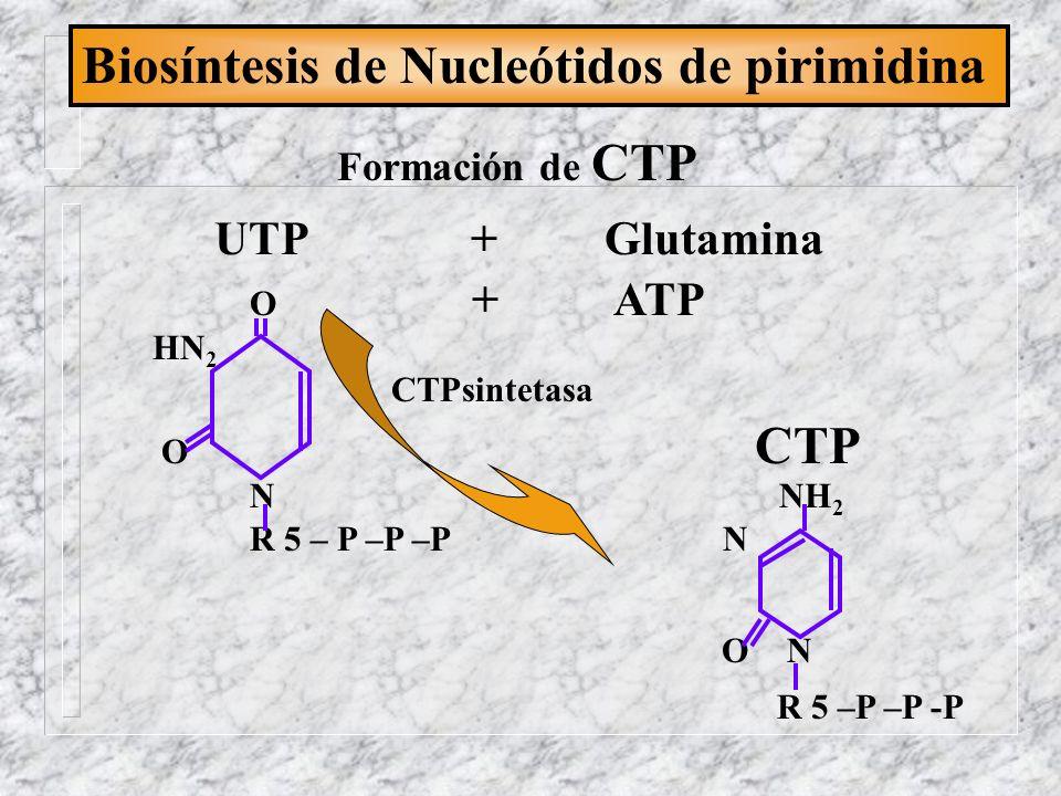 Biosíntesis de Nucleótidos de pirimidina Formación de CTP UTP + Glutamina O + ATP HN 2 CTPsintetasa O CTP N NH 2 R 5 – P –P –P N O N R 5 –P –P -P