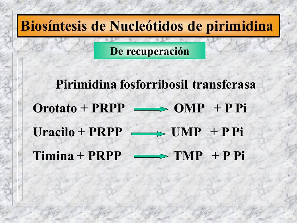 Biosíntesis de Nucleótidos de pirimidina De recuperación Pirimidina fosforribosil transferasa Orotato + PRPP OMP + P Pi Uracilo + PRPP UMP + P Pi Timi