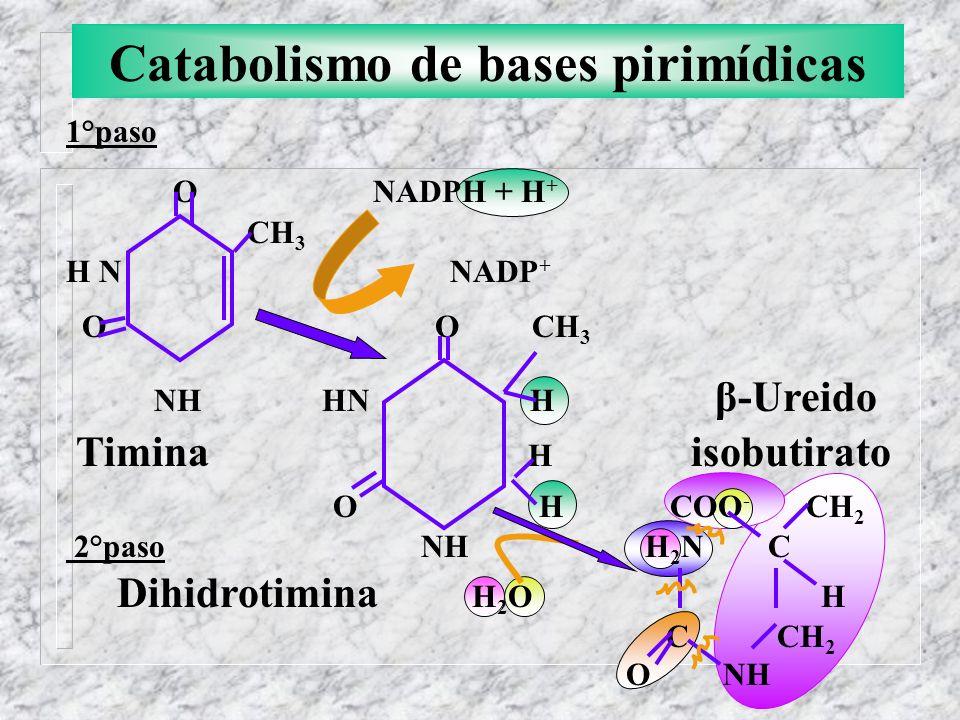 Catabolismo de bases pirimídicas 1°paso O NADPH + H + CH 3 H N NADP + O O CH 3 NH HN H β-Ureido Timina H isobutirato O H COO - CH 2 2°paso NH H 2 N C