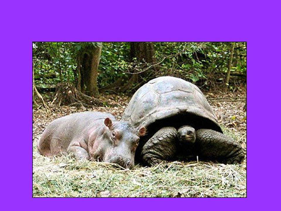 Ένα μωρό ιπποπόταμο που επέζησε από ένα Τσουνάμι στην Κένυα και που, μόνο στο κόσμο, συνδέθηκε με μια χελώνα 100 ετών την οποία έκανε θετή μητέρα του…