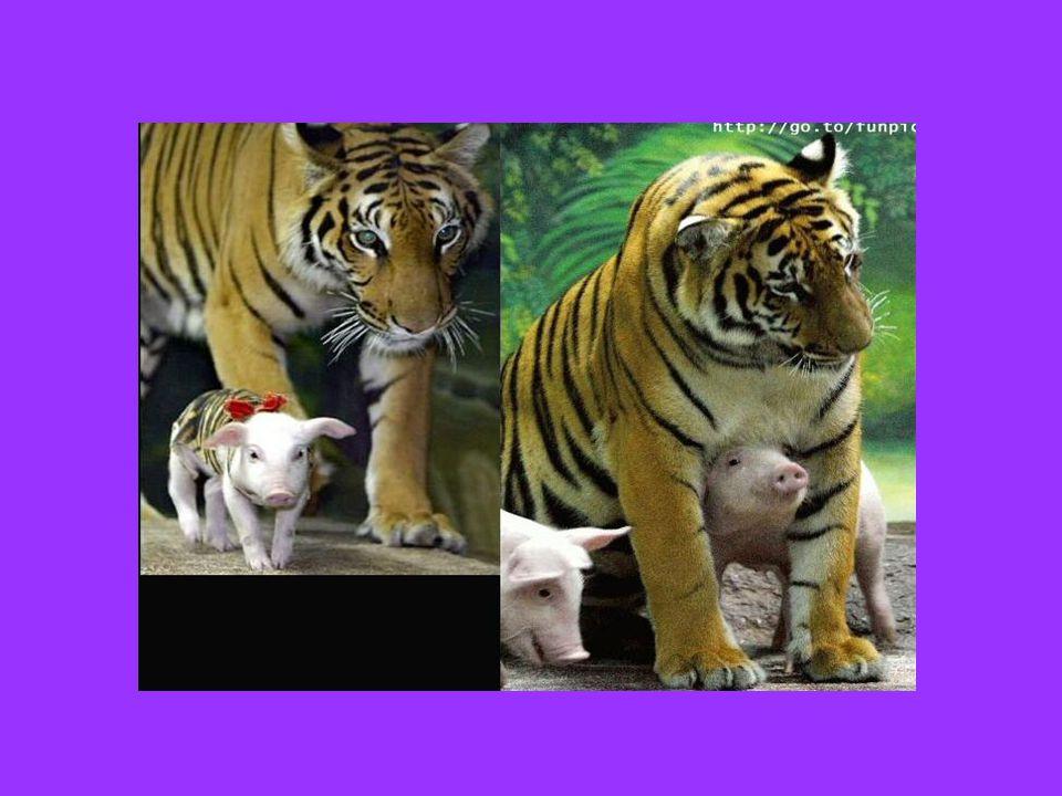Αυτή τη Μαμά Τίγρη που έχασε τα μωρά της και μετέφερε όλη την τρυφερότητα της σε μικρά γουρουνάκια…