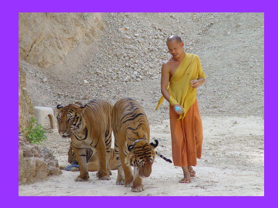 Σ' ένα Βουδιστικό ναό στην Ταϊλάνδη, οι μοναχοί μάζεψαν και φρόντισαν κάποια ορφανά τιγράκια.