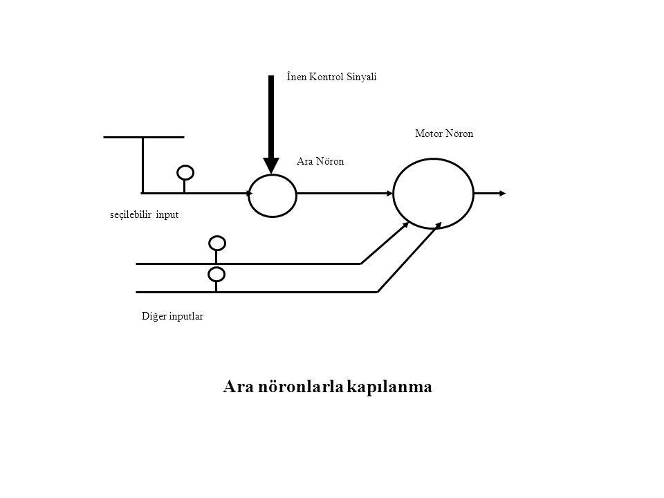 Motor Nöron İnen Kontrol Sinyali Ara Nöron seçilebilir input Diğer inputlar Ara nöronlarla kapılanma