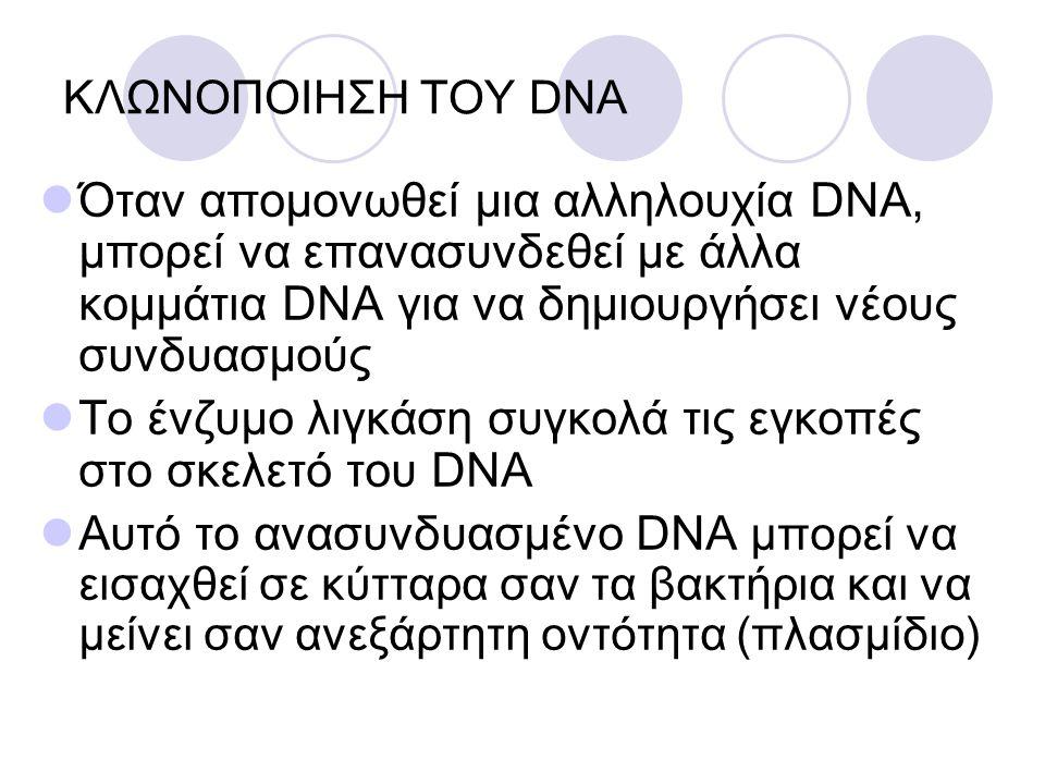 ΚΛΩΝΟΠΟΙΗΣΗ ΤΟΥ DNA Όταν απομονωθεί μια αλληλουχία DNA, μπορεί να επανασυνδεθεί με άλλα κομμάτια DNA για να δημιουργήσει νέους συνδυασμούς Το ένζυμο λ
