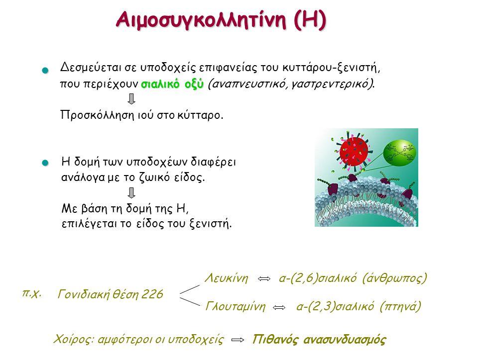 Αιμοσυγκολλητίνη (H) Γονιδιακή θέση 226 Λευκίνη α-(2,6)σιαλικό (άνθρωπος) Γλουταμίνη α-(2,3)σιαλικό (πτηνά) Χοίρος: αμφότεροι οι υποδοχείς Πιθανός ανα