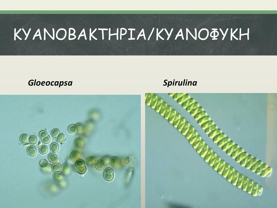 ΚΥΑΝΟΒΑΚΤΗΡΙΑ/KYANOΦΥΚΗ Gloeocapsa Spirulina