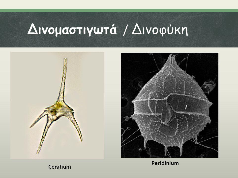Δινομαστιγωτά / Δινοφύκη Ceratium Peridinium