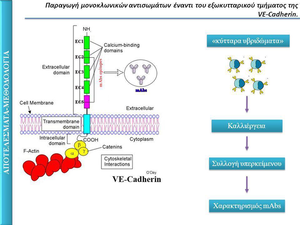 ΑΠΟΤΕΛΕΣΜΑΤΑ-ΜΕΘΟΔΟΛΟΓΙΑ Παραγωγή μονοκλωνικών αντισωμάτων έναντι του εξωκυτταρικού τμήματος της VE-Cadherin.