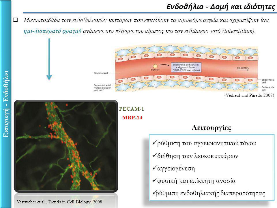 Εισαγωγή - Ενδοθήλιο Ενδοθηλιακή διαπερατότητα Διακυτταρική διαδρομή διαμέσου των ενδοθηλιακών κυττάρων Παρακυτταρική διαδρομή διαμέσου των συνδέσμων των ενδοθηλιακών κυττάρων 1.