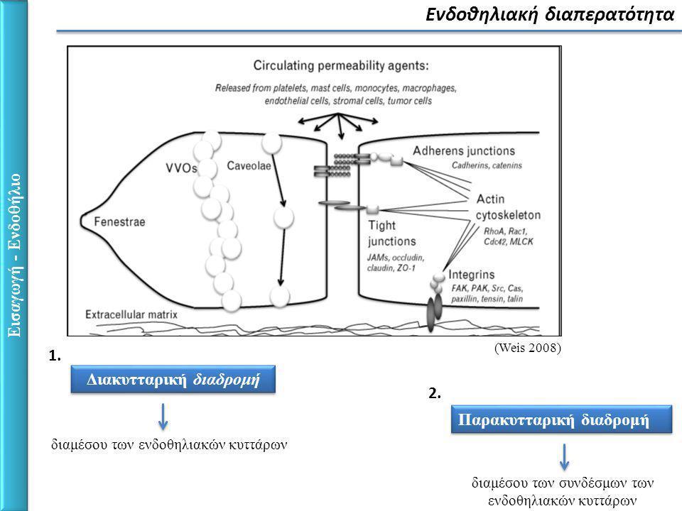 Αγγειακή Ενδοθηλιακή Καδερίνη (VE-Cadherin) Διακυτταρικοί σύνδεσμοι (Dejana, Tournier-Lasserve et al.
