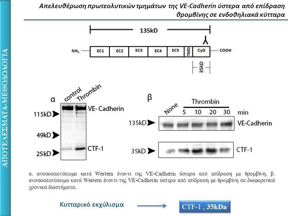 Απελευθέρωση πρωτεολυτικών τμημάτων της VE-Cadherin ύστερα από επίδραση θρομβίνης σε ενδοθηλιακά κύτταρα ΑΠΟΤΕΛΕΣΜΑΤΑ-ΜΕΘΟΔΟΛΟΓΙΑ α.