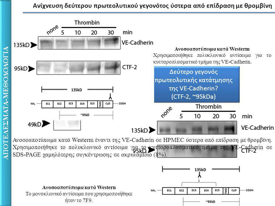 Ανίχνευση δεύτερου πρωτεολυτικού γεγονότος ύστερα από επίδραση με θρομβίνη ΑΠΟΤΕΛΕΣΜΑΤΑ-ΜΕΘΟΔΟΛΟΓΙΑ Δεύτερο γεγονός πρωτεολυτικής κατάτμησης της VE-Cadherin.
