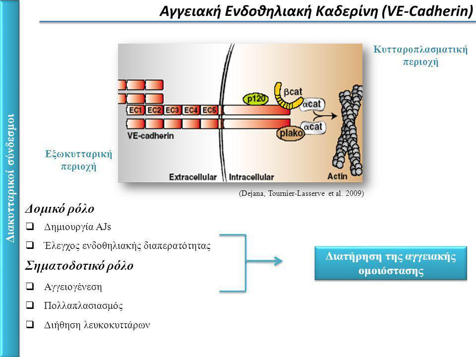 Ανίχνευση διαλυτής VE-Cadherin στην κυκλοφορία του αίματος σε ασθενείς από τη Μονάδα Εντατικής Θεραπείας ΑΠΟΤΕΛΕΣΜΑΤΑ-ΜΕΘΟΔΟΛΟΓΙΑ agarose mAbs Αποτέλεσμα Δυο διαλυτά τμήματα της VE- Cadherin με μοριακό βάρος ~85kDa και ~95kDa, αντίστοιχα.