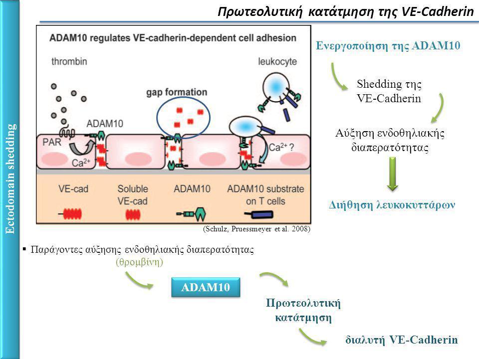 Ectodomain shedding Πρωτεολυτική κατάτμηση της VE-Cadherin (Schulz, Pruessmeyer et al.