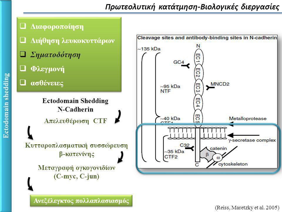 Ectodomain shedding Πρωτεολυτική κατάτμηση-Βιολογικές διεργασίες  Διαφοροποίηση  Διήθηση λευκοκυττάρων  Σηματοδότηση  Φλεγμονή  ασθένειες  Διαφοροποίηση  Διήθηση λευκοκυττάρων  Σηματοδότηση  Φλεγμονή  ασθένειες Απελευθέρωση CTF Ectodomain Shedding N-Cadherin Κυτταροπλασματική συσσώρευση β-κατενίνης Μεταγραφή ογκογονιδίων (C-myc, C-jun) Ανεξέλεγκτος πολλαπλασιασμός (Reiss, Maretzky et al.