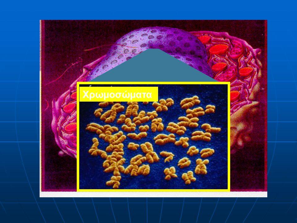 Η ακτινοβολία επιδρά στο κέντρο της ζωής : στο κύτταρο Χρωμοσώματα