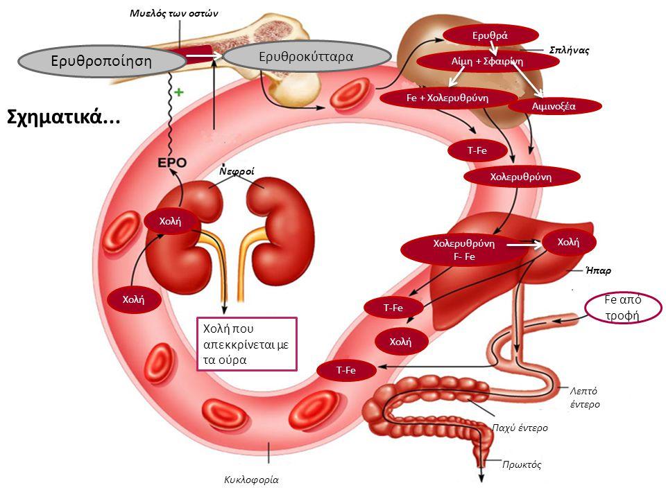 Σχηματικά... Μυελός των οστών Σπλήνας Ήπαρ Νεφροί Κυκλοφορία Πρωκτός Παχύ έντερο Λεπτό έντερο Ερυθροποίηση Ερυθροκύτταρα Ερυθρά Αίμη + Σφαιρίνη Fe + Χ
