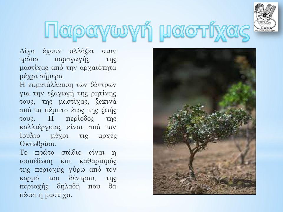 Λίγα έχουν αλλάξει στον τρόπο παραγωγής της μαστίχας από την αρχαιότητα μέχρι σήμερα.