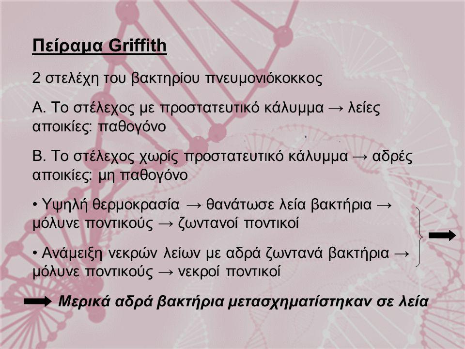 Πείραμα Griffith 2 στελέχη του βακτηρίου πνευμονιόκοκκος Α. Το στέλεχος με προστατευτικό κάλυμμα → λείες αποικίες: παθογόνο Β. Το στέλεχος χωρίς προστ
