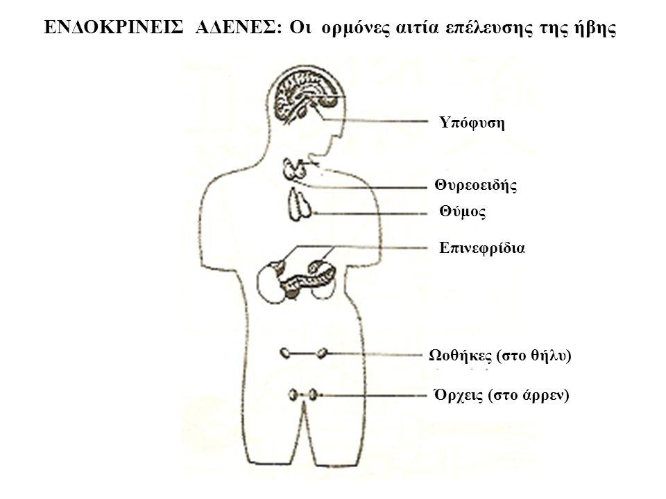 Θυρεοειδής Θύμος Επινεφρίδια Ωοθήκες (στο θήλυ) Υπόφυση Όρχεις (στο άρρεν) ΕΝΔΟΚΡΙΝΕΙΣ ΑΔΕΝΕΣ: Οι ορμόνες αιτία επέλευσης της ήβης