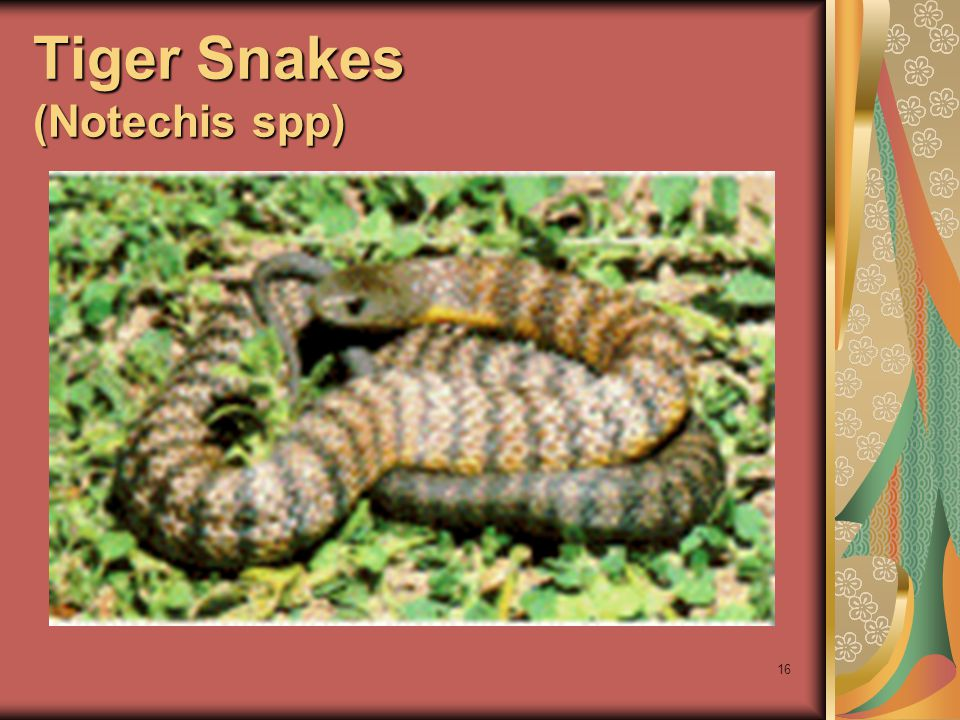 16 Tiger Snakes (Notechis spp)