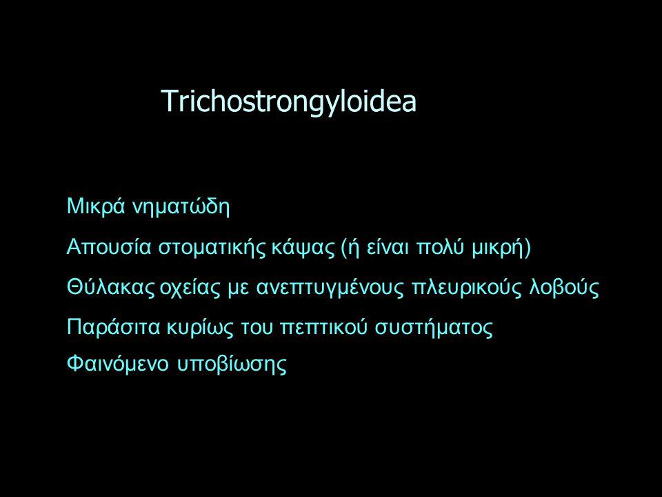Τrichostrongyloidea Μικρά νηματώδη Απουσία στοματικής κάψας (ή είναι πολύ μικρή) Θύλακας οχείας με ανεπτυγμένους πλευρικούς λοβούς Παράσιτα κυρίως του πεπτικού συστήματος Φαινόμενο υποβίωσης