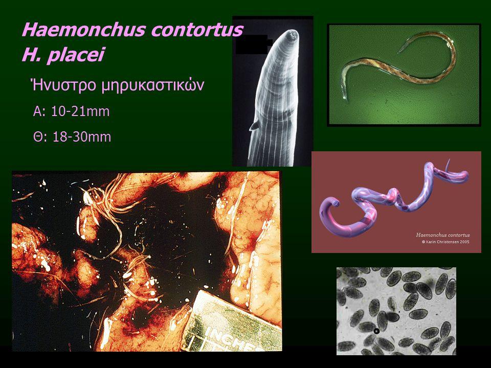 Haemonchus contortus H. placei Ήνυστρο μηρυκαστικών Α: 10-21mm Θ: 18-30mm