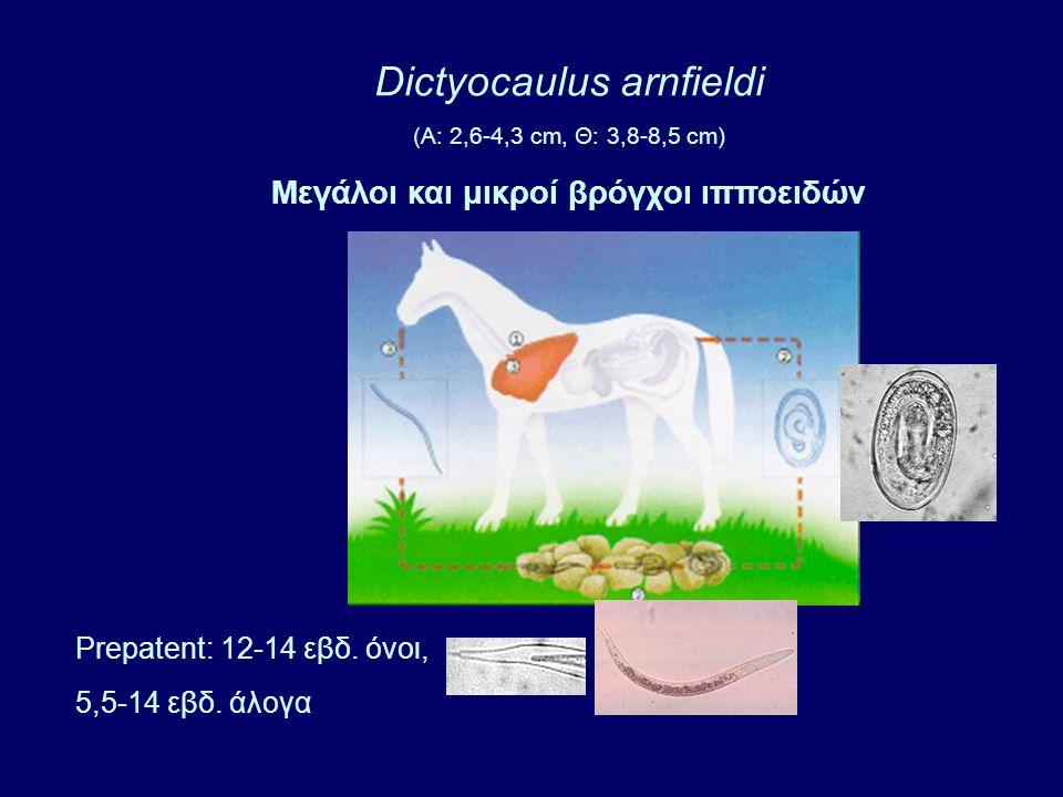 Dictyocaulus arnfieldi (A: 2,6-4,3 cm, Θ: 3,8-8,5 cm) Μεγάλοι και μικροί βρόγχοι ιπποειδών Prepatent: 12-14 εβδ.