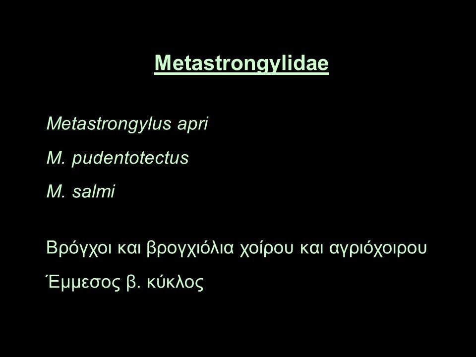 Metastrongylidae Metastrongylus apri M. pudentotectus M.
