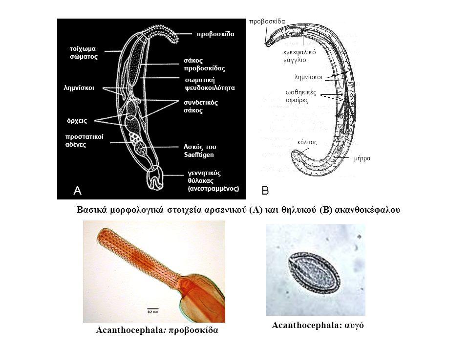 προβοσκίδα σάκος προβοσκίδας σωματική ψευδοκοιλότητα λημνίσκοι όρχεις προστατικοί αδένες τοίχωμα σώματος συνδετικός σάκος γεννητικός θύλακας (ανεστραμμένος) Ασκός του Saefftigen Βασικά μορφολογικά στοιχεία αρσενικού (Α) και θηλυκού (Β) ακανθοκέφαλου Α Β προβοσκίδα εγκεφαλικό γάγγλιο λημνίσκοι ωοθηκικές σφαίρες κόλπος μήτρα Acanthocephala: προβοσκίδα Acanthocephala: αυγό