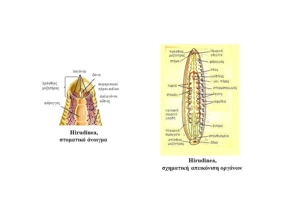 σαγόνια δόντι εκφοριτικοί πόροι σιέλου φάρυγγας πρόσθιος μυζητήρας σιελογόνοι αδένες Hirudinea, στοματικό άνοιγμα φάρυγγας τυφλά νεφρίδια όρχεις σπερματαγωγός πέος ωοθήκες ♀ γεν.