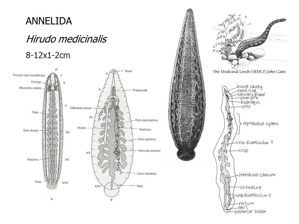 ANNELIDA Hirudo medicinalis 8-12x1-2cm