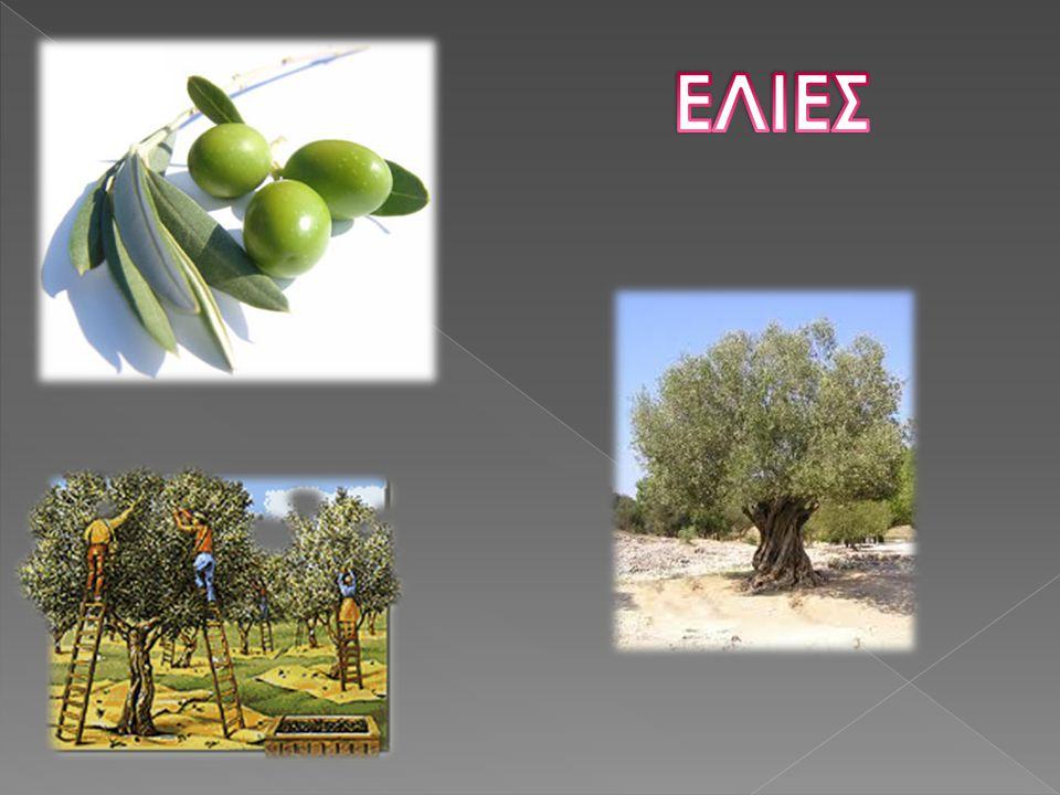  Αιωνόβιο και αειθαλές δένδρο  Με φύλλα καμπυλοτά  Κατά την ωρίμαση μαυρίζει και μαλακώνει  Είναι ένα δώρο της φύσης με πλούσια ιστορία γύρω από τη Μεσόγειο  Επέδρασε στην κοινωνική και οικονομική πραγματικότητα, αλλά και στα έθιμα  Η ελιά ως αυτοφυές δέντρο - αγριελιά - πρωτοεμφανίστηκε στην ανατολική Μεσόγειο σαν ευλογία και σαν ασφάλεια  Η πρώτη ελιά φυτεύτηκε από την Αθηνά στην Ακρόπολη  Οι Έλληνες ήταν ο πρώτος λαός που καλλιέργησε την ελιά στον ευρωπαϊκό μεσογειακό χώρο  Η ελιά είναι ένα δέντρο που συνδέεται με την ιστορία μας